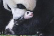 에버랜드, 생후 50일된 아기 판다 사진 공개
